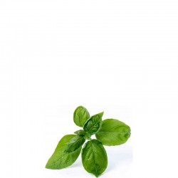 Lingot Wkład nasienny bazylia