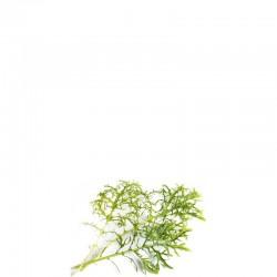 Lingot Wkład nasienny musztardowiec