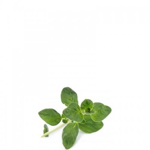 Veritable Lingot Wkład nasienny oregano