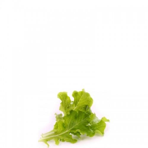 Veritable Lingot Wkład nasienny sałata dębowa