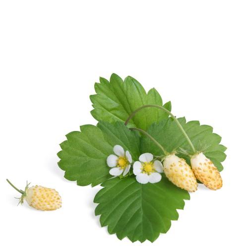Veritable Lingot Wkład nasienny, krzewinki owocowe - poziomka biała
