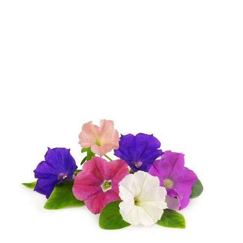 Veritable Lingot Wkład nasienny petunia