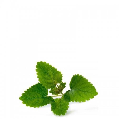 Veritable Lingot Wkład nasienny, zioła nietypowe - melisa