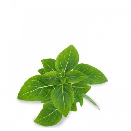 Veritable Lingot Wkład nasienny, zioła nietypowe - bazylia karłowa