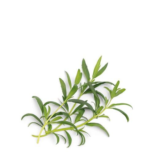 Veritable Lingot Wkład nasienny, zioła nietypowe - hyzop organiczny